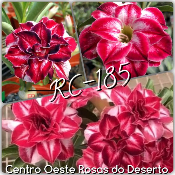 Rosa do Deserto Enxerto - Black Amaryllis (RC-185)
