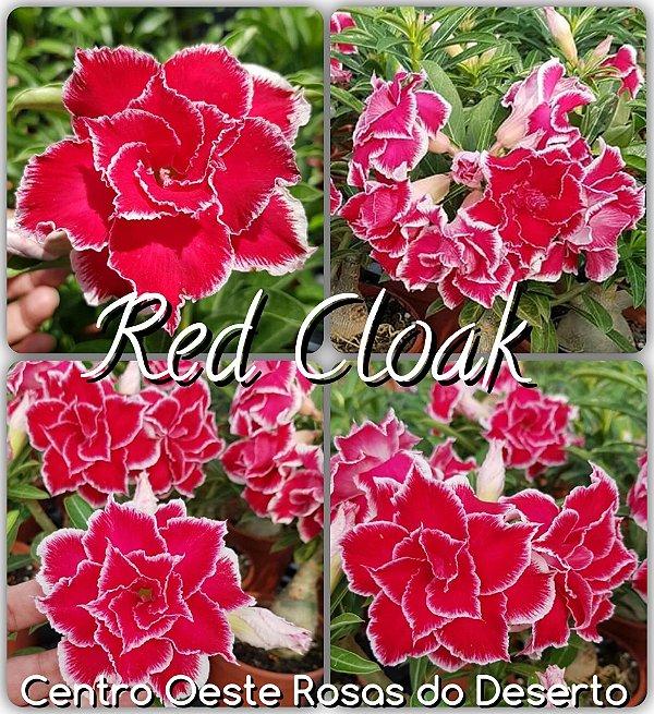 Rosa do Deserto Muda de Enxerto - Red Cloak - Flor Dobrada