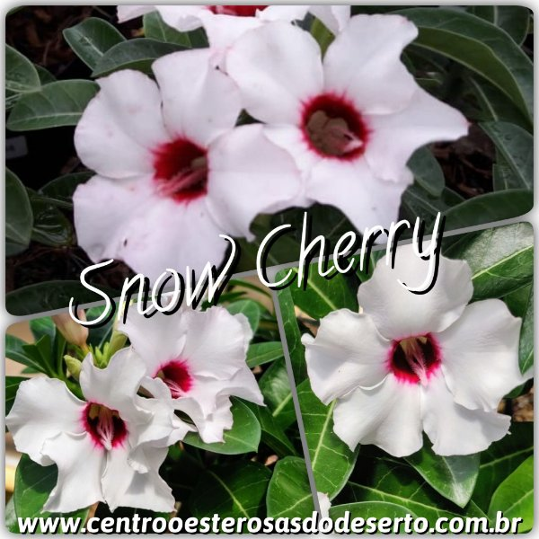 Rosa do Deserto Muda de Enxerto - Snow Cherry - Flor Simples