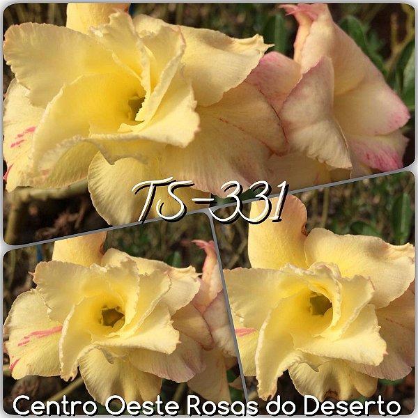 Rosa do Deserto Muda de Enxerto - TS-331 - Flor Dobrada