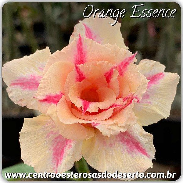 Rosa do Deserto Muda de Enxerto - Orange Essence - Flor Tripla