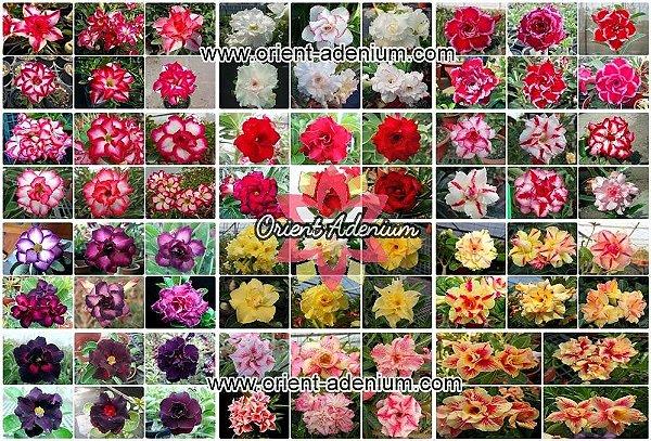 Semente Multi-Petals Mixed Color - Orient Adenium - Kit com 10 sementes