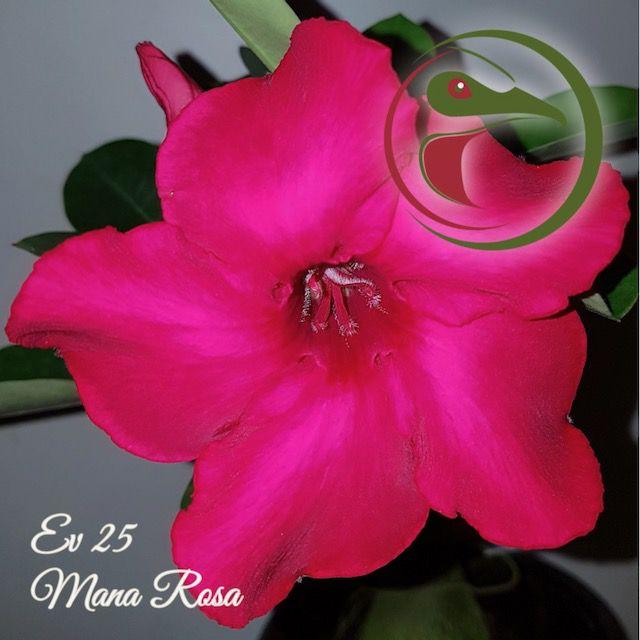Rosa do Deserto Muda de Enxerto - EV-025 - Mana Rosa - Flor Simples