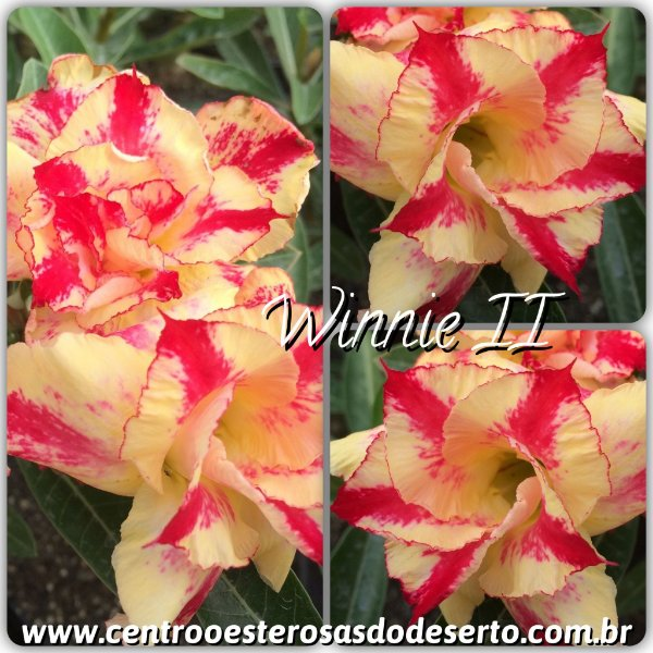 Rosa do Deserto Muda de Enxerto - Winnie II - Flor Dobrada
