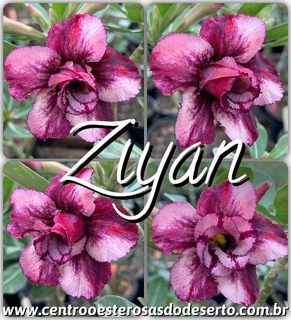 Rosa do Deserto Muda de Enxerto - Ziyan - Flor Dobrada