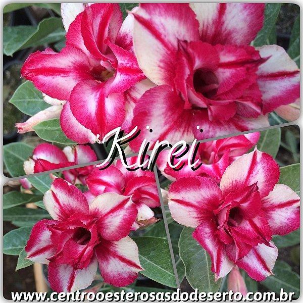Rosa do Deserto Muda de Enxerto - Kirei - Flor Dobrada