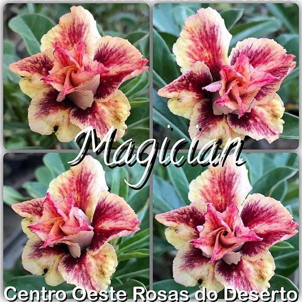 Rosa do Deserto Muda de Enxerto - Magician - Flor Dobrada