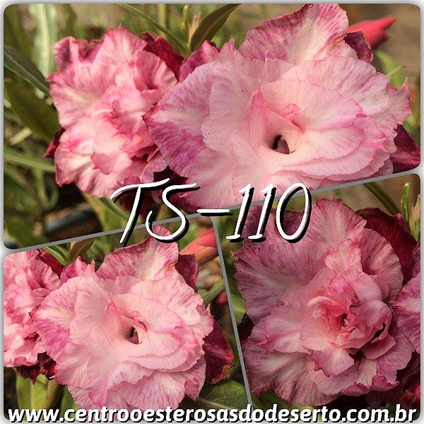 Rosa do Deserto Muda de Enxerto - TS-110 - Flor Tripla