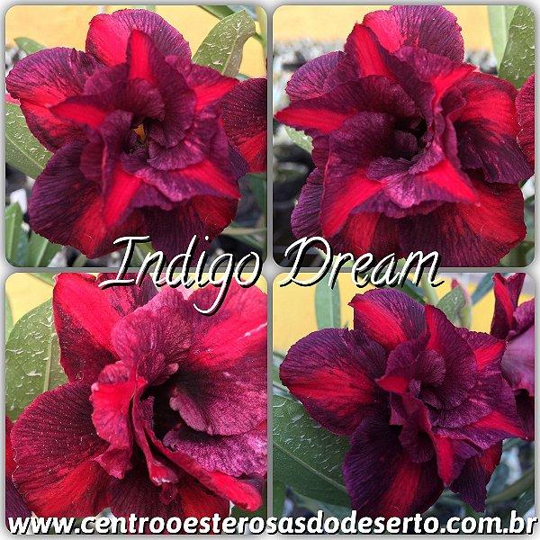 Rosa do Deserto Muda de Enxerto - Indigo Dream - Flor Dobrada