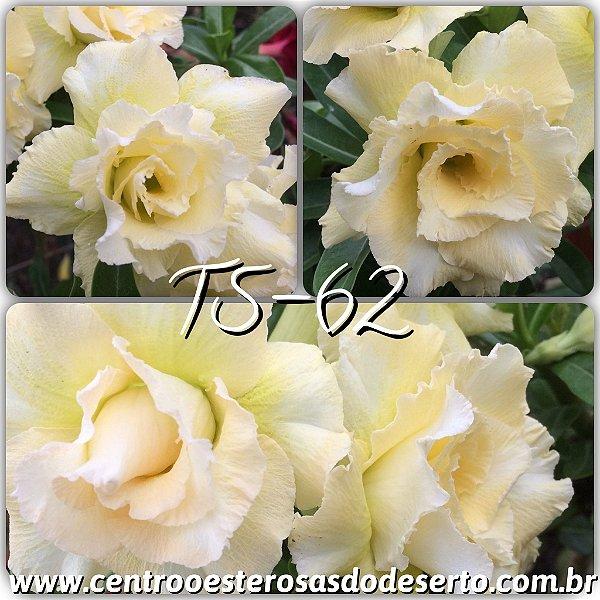 Rosa do Deserto Muda de Enxerto - TS-062 - Flor Tripla