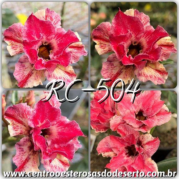 Rosa do Deserto Muda de Enxerto - RC-504 - Flor Dobrada