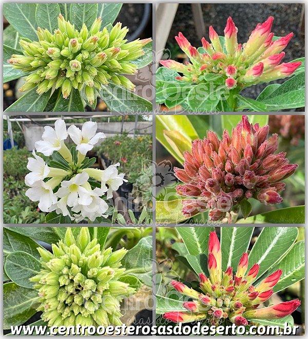Rosa do Deserto Enxerto - Bouquet Flor Simples