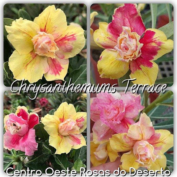 Rosa do Deserto Enxerto - Chrysanthemuns Terrace (RC93)