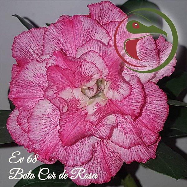 Rosa do Deserto Muda de Enxerto - EV-068 - Boto Cor de Rosa - Flor Tripla