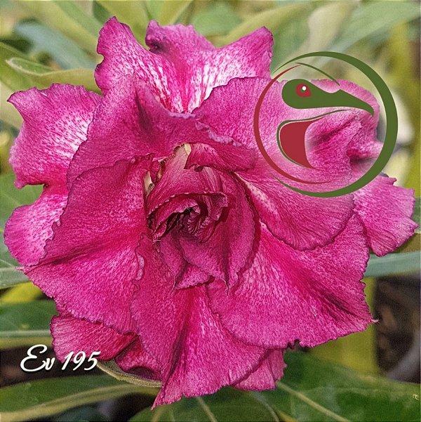 Rosa do Deserto Muda de Enxerto - EV-195 - Flor Tripla