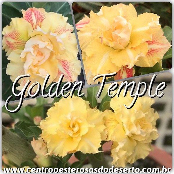 Rosa do Deserto Muda de Enxerto - Golden Temple - Flor Tripla