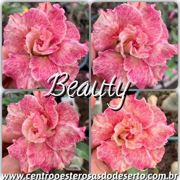 Rosa do Deserto Enxerto - Beauty (RC101)