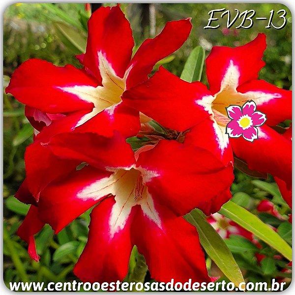 Rosa do Deserto Muda de Enxerto - EVB-013 - Flor Simples