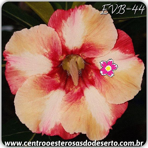 Rosa do Deserto Muda de Enxerto - EVB-044 - Flor Simples