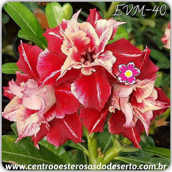 Rosa do Deserto Muda de Enxerto - EVM-040 - Flor Dobrada
