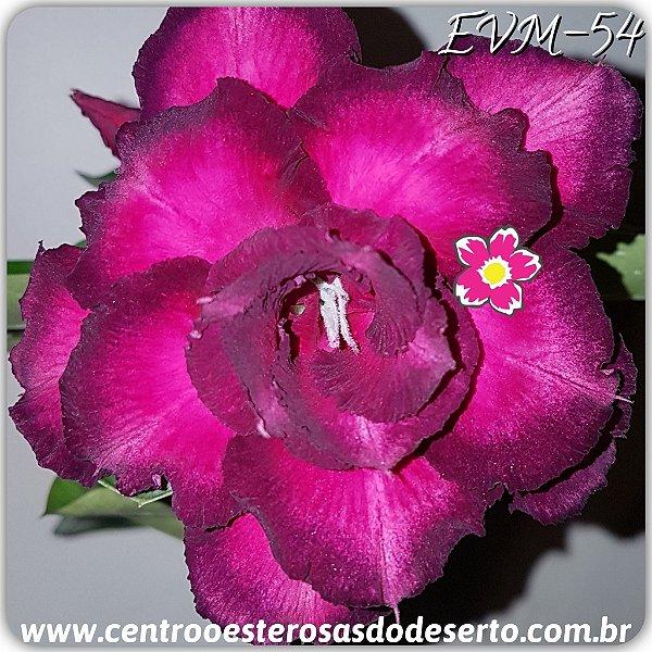 Rosa do Deserto Muda de Enxerto - EVM-054 - Flor Tripla