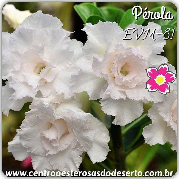 Rosa do Deserto Muda de Enxerto - EVM-081 - PÉROLA - Flor Tripla
