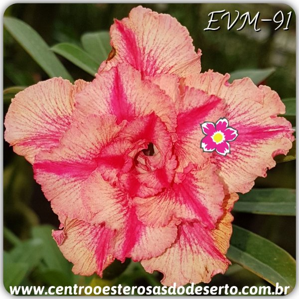 Rosa do Deserto Muda de Enxerto - EVM-091 - Flor Dobrada