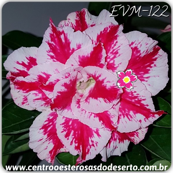 Rosa do Deserto Muda de Enxerto - EVM-122 - Flor Tripla