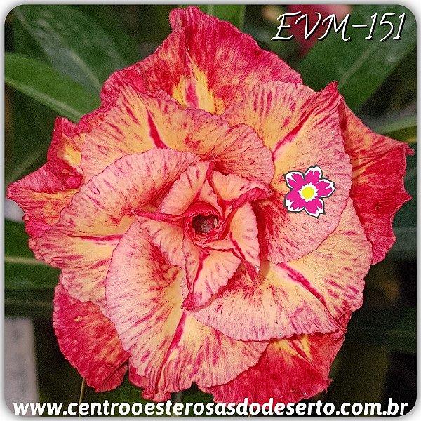 Rosa do Deserto Muda de Enxerto - EVM-151 - Flor Tripla