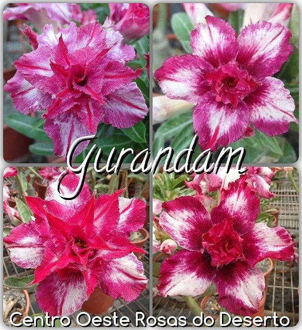 Rosa do Deserto Muda de Enxerto - Gurandam - Flor Dobrada