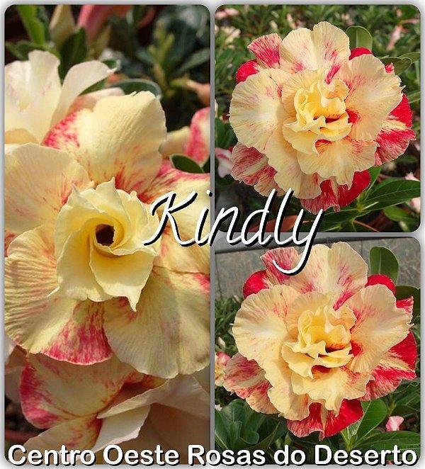 Rosa do Deserto Muda de Enxerto - Kindly - Flor Dobrada