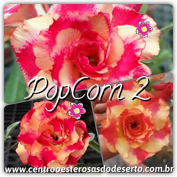 Rosa do Deserto Muda de Enxerto - PopCorn 2