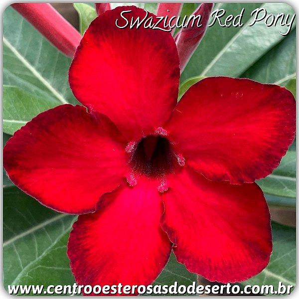 Rosa do Deserto Muda de Enxerto - Red Pony - Flor Simples