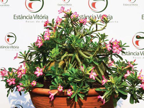 Rosa do Deserto Muda de Sementeira - Pendente Cuia 21 - Flor Simples