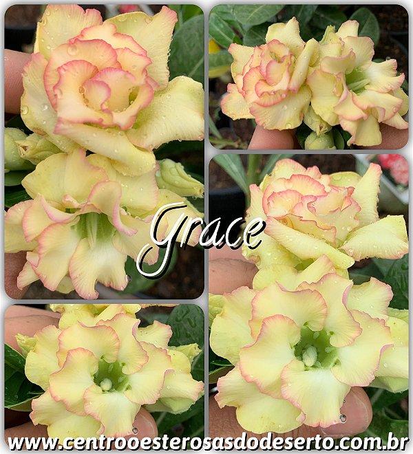 Rosa do Deserto Muda de Enxerto - Grace - Flor Dobrada