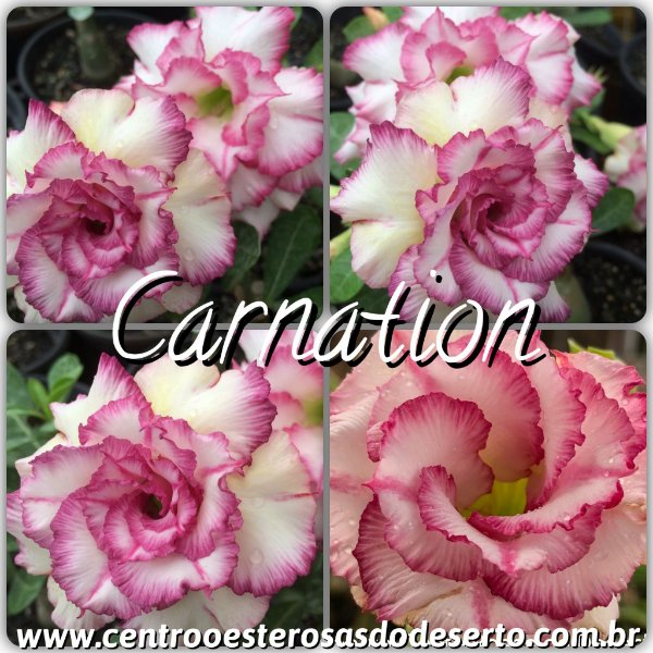 Rosa do Deserto Enxerto - Carnation