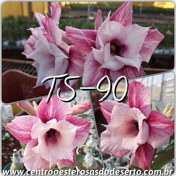 Rosa do Deserto Muda de Enxerto - TS-090 - Dobrada