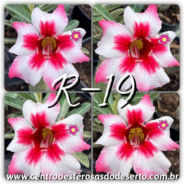 Rosa do Deserto Muda de Enxerto - R-19 - Flor Simples
