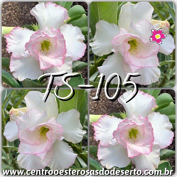 Rosa do Deserto Muda de Enxerto - TS-105 - Flor Dobrada