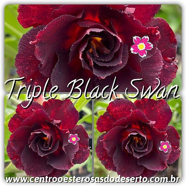 Rosa do Deserto Muda de Enxerto - Triple Black Swan (Swan II)