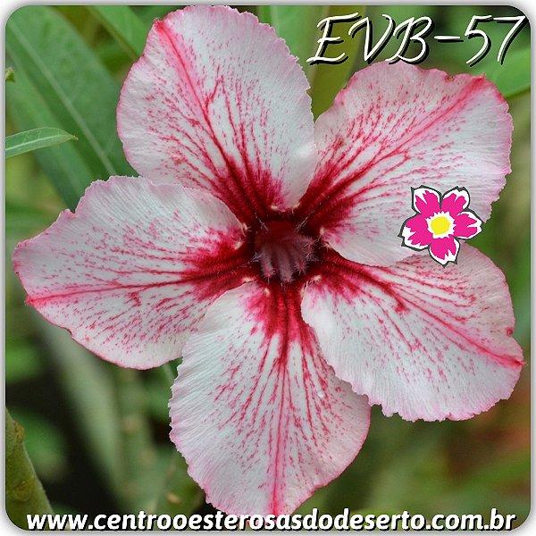 Rosa do Deserto Muda de Enxerto - EVB-057 - Flor Simples