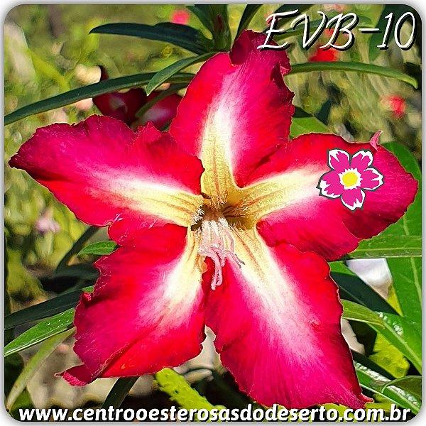 Rosa do Deserto Muda de Enxerto - EVB-010 - Flor Simples
