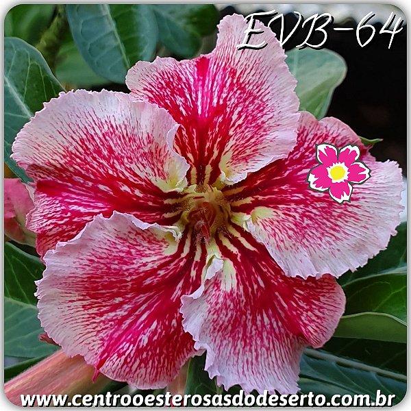 Rosa do Deserto Muda de Enxerto - EVB-064 - Flor Simples