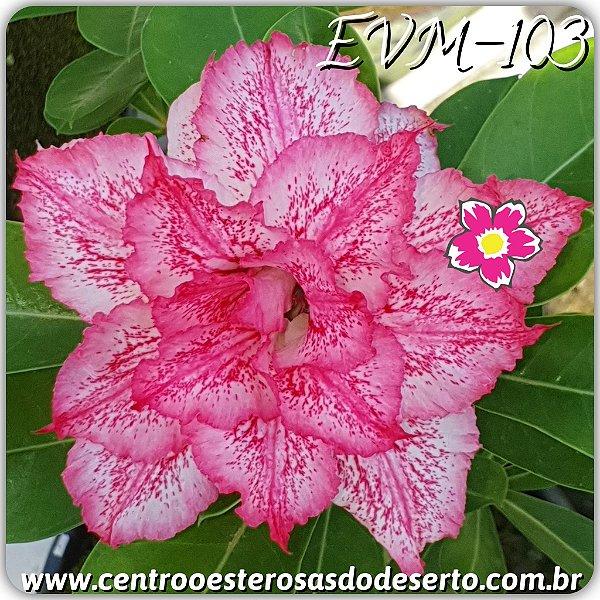 Rosa do Deserto Muda de Enxerto - EVM-103 - Flor Dobrada