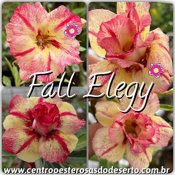 Rosa do Deserto Muda de Enxerto - Fall Elegy - Flor Dobrada