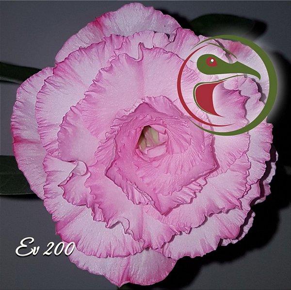 Rosa do Deserto Muda de Enxerto - EV-200 - Flor Tripla