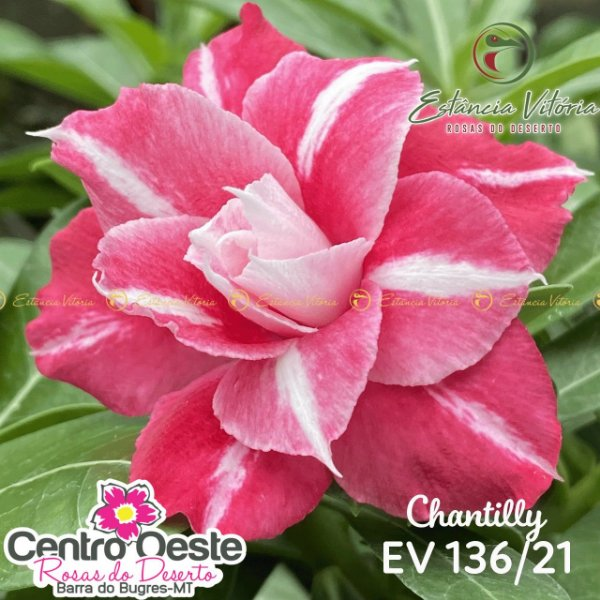 Rosa do Deserto Enxerto - EV-136 Chantilly