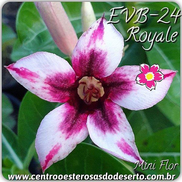 Rosa do Deserto Muda de Enxerto - EVB-024 - Royale - Flor Simples