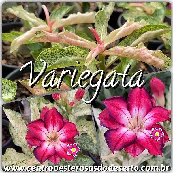 Rosa do Deserto Muda de Enxerto - Variegata RC-308 - Flor Dobrada