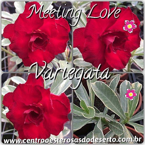 Rosa do Deserto Muda de Enxerto - Meeting Love - Variegata de Flor Tripla